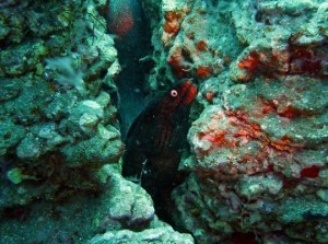 Black Sands Moray Eel